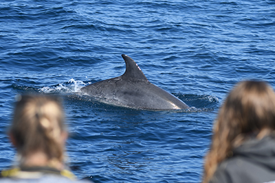 Bottlenose dolphins research and conservation