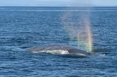 Blue whale in Galicia