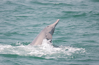 Indian Ocean Humpback dolphins in UAE