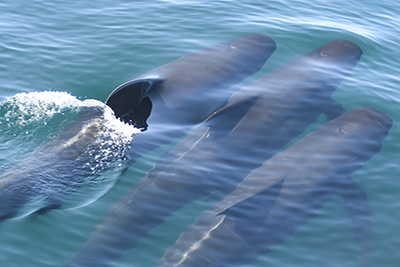 Pilot whales research projects in Spain
